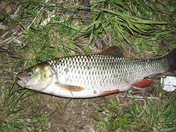 рыба фото голавль