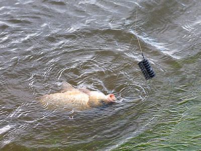 Ловля фидером на реке: шаг за шагом